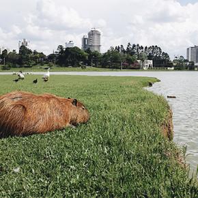 〖大笑到巴西〗連水豚君都愛的南巴西Curitiba